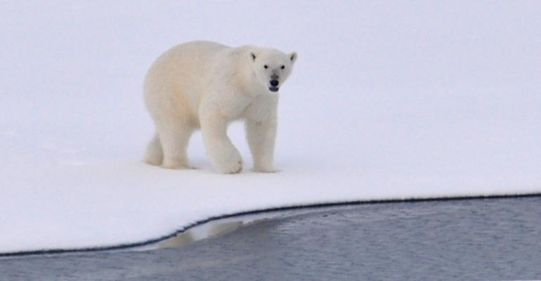 CRUISE_polar_bear.jpeg