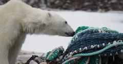 Polar bear with plastic fishing net.jpg