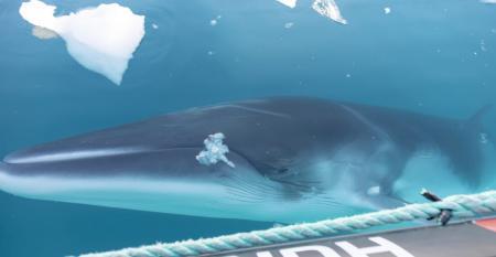 CRUISE_whale_Photo_Genna_Roland_Hurtigruten.jpg